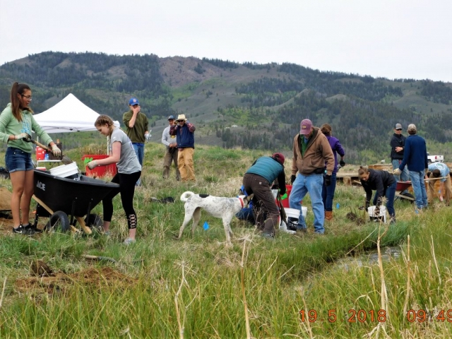 many of the stages of planting willows, from the hole digging, adding willow sprigs, mixing soil, and adding soil, plus canine supervision